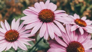 Echinacea e sistema immunitario, quando assumerla?